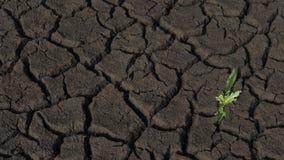 Surface aride de terres cultivables, avec les fissures texturisées et une faibles, petit élevage d'usine de mauvaise herbe Photo libre de droits