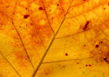 The surface of an autumn leaf in sunlight Royalty Free Stock Photography