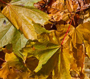 Surface of autumn leafs on the ground. Autumn leafs on the ground Royalty Free Stock Image
