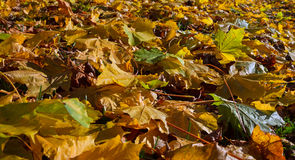 Surface of autumn leafs on the ground. Autumn leafs on the ground Royalty Free Stock Photography