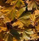 Surface of autumn leafs on the ground. Autumn leafs on the ground Stock Photos