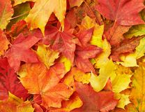 Surface covered with colorful maple leaves Royalty Free Stock Photos