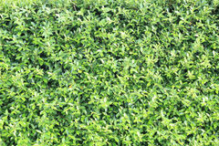 Surface covered with the green ivy leaves as a background textur Royalty Free Stock Photo