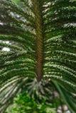 Surface de fond de branche d'arbre exotique de vert d'araucaria d'usine photographie stock libre de droits