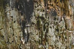 Surface de fond du tronc d'arbre très vieux avec les trous qui a été fait par des fourmis photo libre de droits