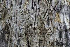 Cut Carved Graffiti On The Bark Of A Blue Gum Tree royalty free stock image