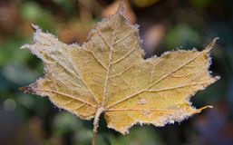 Surface of frost leaf. Surface of autumn frost leaf Stock Image