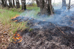 Surface grass fire in a forest Royalty Free Stock Image
