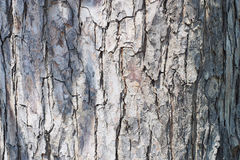 Surface of gray tree skin peel. The pattern texture surface of gray tree skin peel, natural sunshine light with its shadow background Stock Photos