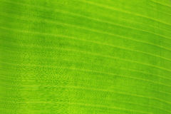 Surface of green banana leaf. Stock Images
