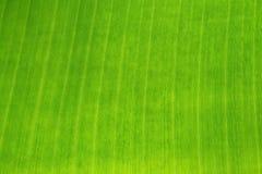 Surface of green banana leaf. Stock Photo