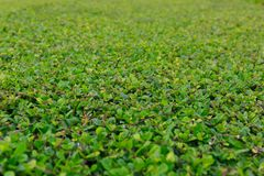Surface of Green Grass in a Public Garden royalty free stock photography