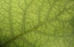 Surface of green leaf Stock Photos