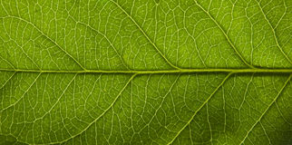 Surface of green leaf Royalty Free Stock Photos
