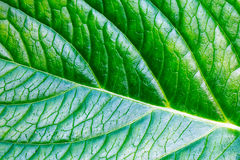 Surface of a green leaf Royalty Free Stock Photography