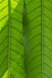 Surface of green leaf Royalty Free Stock Images