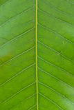 Surface of green leaf Stock Images