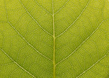 Surface of the green leaf  in the sunlight Stock Photography