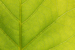 Surface of the green leaf  in sunlight Royalty Free Stock Photos