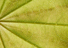 The surface of green leaf in sunlight Stock Image