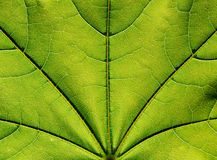 Surface of the green leaf  in sunlight Stock Images
