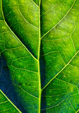 The surface of green leaf in  sunlight Stock Photos