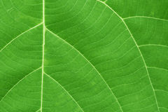 Surface of green leaf with veins Stock Photo