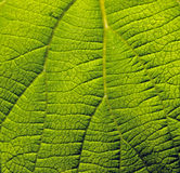 Surface of green plant Stock Image