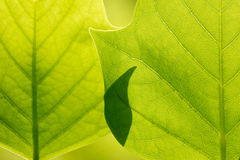 Surface of  green  sunlit leaves in macro Stock Photos