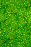 Surface of leaf Royalty Free Stock Photos