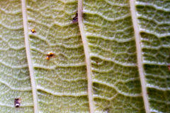 The surface of the leaf of the tree,Leaf macro, detail, color, clarity, lines, shading. Stock Images