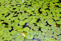 Surface of Lily Pads Royalty Free Stock Photos
