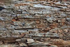The surface of the   logs pitted pests. Royalty Free Stock Photo