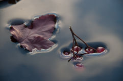 Surface tension,the berries sink in water. Surface tension,water,tree leaf,berries,red,blue,branch,physics,plants,nature,drowning,a leaf floats on water,the royalty free stock photos