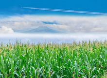 Surface texture of corn plantation field with the blue sky cloud, Thailand fuji mountain background royalty free stock images