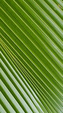 The Surface Texture of Fan Palm Leaf Royalty Free Stock Images
