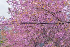 Surface texture of Gratoxylum, formosum, Guttiferae, sweet colorful of Thailand sakura flower stock photography