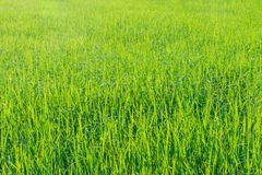 Surface texture of green paddy field, paddy leaf pattern. stock photography