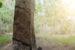 Surface and texture by tapping latex from rubber tree. Stock Photography