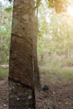 Surface and texture by tapping latex from rubber tree. Stock Image