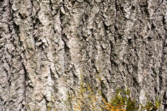 Surface texture of tree bark in the woods Royalty Free Stock Photography