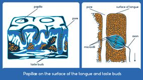 Surface of the tongue and taste buds. Vector scheme. Papillae on the surface of the tongue and taste buds. Vector scheme Stock Photo