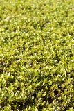 Surface of trimmed bush. Under daylight royalty free stock photography