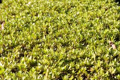 Surface of trimmed bush. Under daylight stock photography