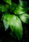 Surface tropicale de feuilles de fraîcheur dans le ton foncé en tant que nombreux fond de forêt image stock