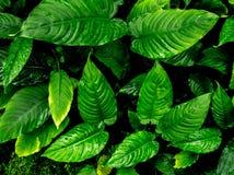 Surface tropicale de feuilles de fraîcheur dans le ton foncé en tant que nombreux fond de forêt images stock