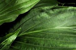 Surface tropicale de feuilles de fra?cheur dans le ton fonc? en tant que nombreux fond de for?t photographie stock
