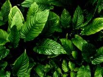 Surface tropicale de feuilles de fra?cheur dans le ton fonc? en tant que nombreux fond de for?t photos stock