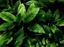 Surface tropicale de feuilles de fra?cheur dans le ton fonc? en tant que nombreux fond de for?t photos libres de droits