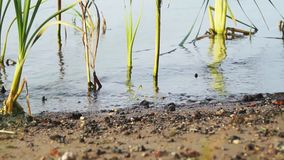 Water surface on the river between the reeds and the sandy shore on a summer day. The surface of the water on the river between the reeds, a place for stock footage